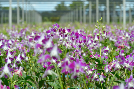 plentiful: Background of plentiful orchid farm
