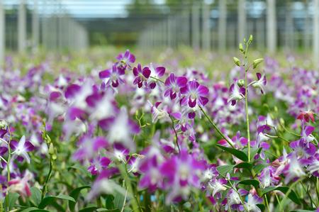 Background of plentiful orchid farm photo