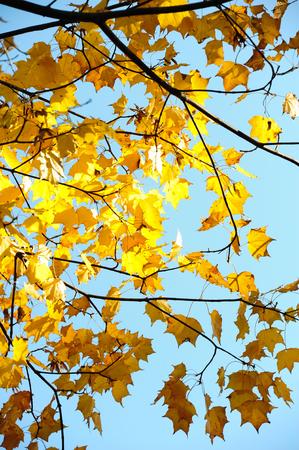 Yellow maple leaf photo