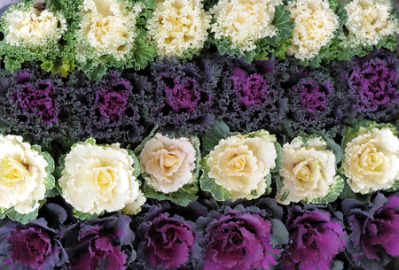 flowering kale: Ornamental cabbage for decoration in japan