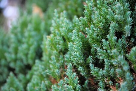 Leaf pine for background photo