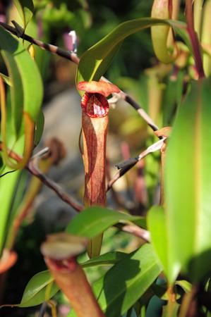 carnivorous: Nepenthes carnivorous plant. Natural theme. Stock Photo