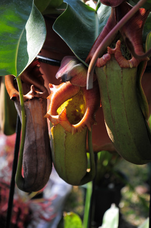 core eudicots: Nepenthes carnivorous plant. Natural theme. Stock Photo