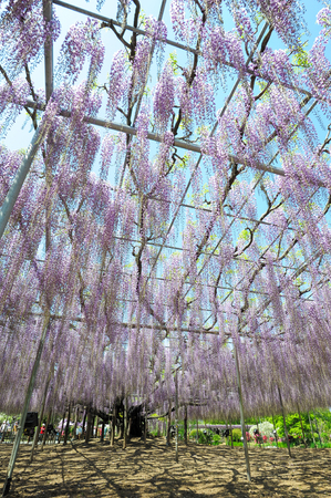 ardor: An Image of Japanese Wisteria Tree
