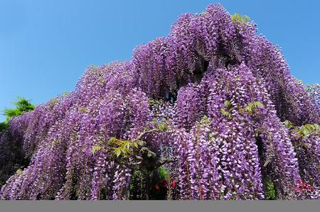 Japanese wisteria blossoms Reklamní fotografie