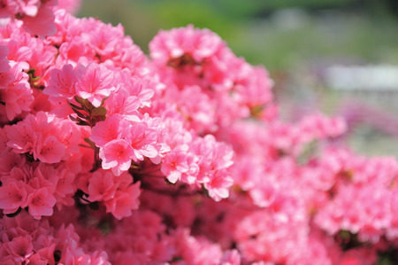 rampant: Rhododendron or Azalea a bloom