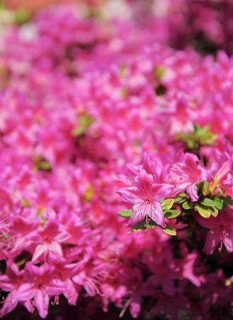 rampant: Rhododendron or Azalea a bloom park