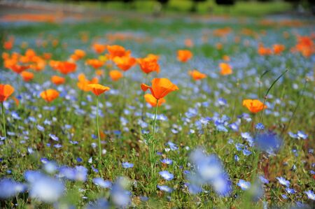 poppy seed: California poppy field