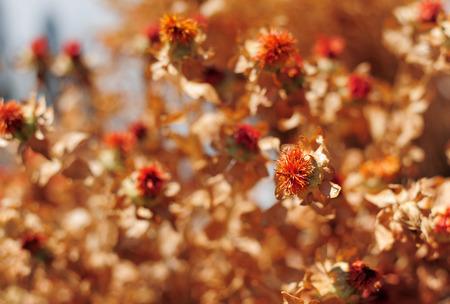 ersatz: Dried Carthamus tinctorius false saffron