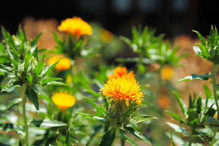 colorant: Carthamus tinctorius false saffron