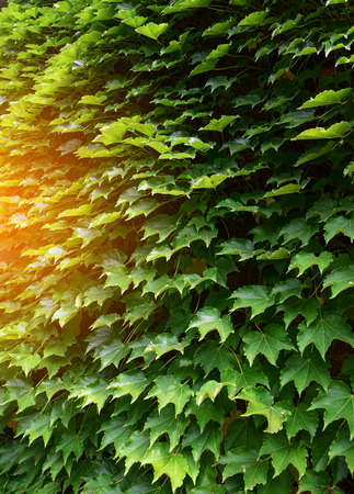 Maple green leaves on wall background Stock Photo