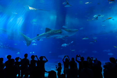 Whale Shark at Okinawa Churaumi Aquarium this one of the largest aquariums in the world