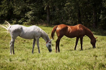 Horizontal image of two thoroughbred horses eating on a green meadow  Grey  and chestnut thoroughbred horses photo