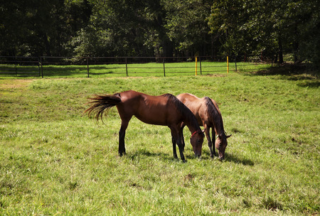 Horizontal image of two thoroughbred horses eating on a green meadow   photo