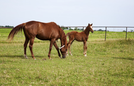 Horizontal image of a horse mare and foal playing and grazing on green meadow photo