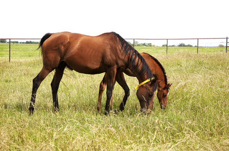 Horizontal image of a horse mare and foal playing and grazing on green meadow
