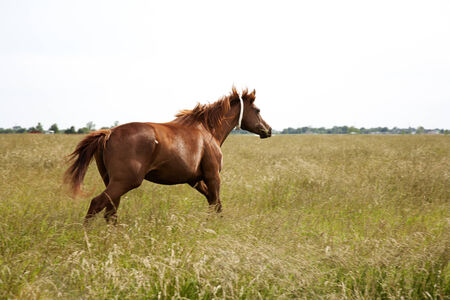 A horizontal image of a brown  throughbred horse mare running field  Chestnut thoroughbred horses photo