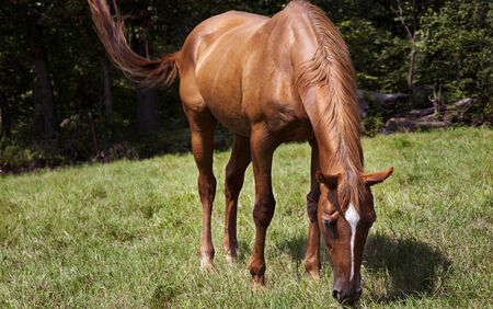 Horizontal color image horse mare grazing in a green meadow  Chestnut thoroughbred horses  photo
