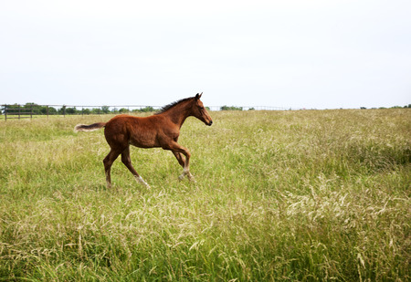 Horizontal  color image foal running on the field  Chestnut thoroughbred horses photo