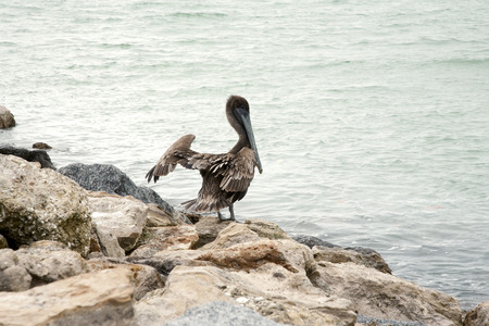 One brown pelican spreading its wings standing on the rocks  Florida, Venice, Sarasota, South Jetty, Gulf of Mexico photo