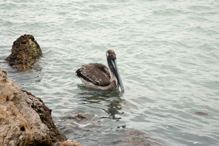 One brown pelican hunting for fish in ocean Florida, Venice, Sarasota, South Jetty, Gulf of Mexico photo
