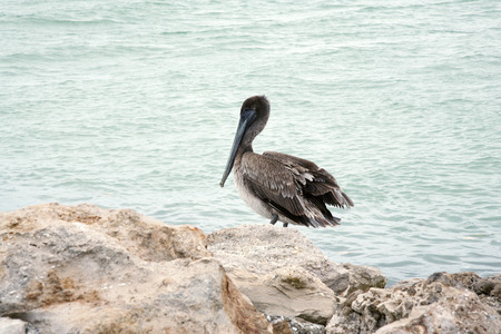 One brown pelican standing on the rocks  Florida, Venice, Sarasota, South Jetty, Gulf of Mexico photo
