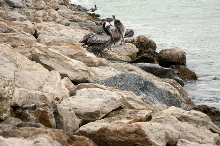 a few brown pelican standing on the rocks  Florida, Venice, Sarasota, South Jetty, Gulf of Mexico photo