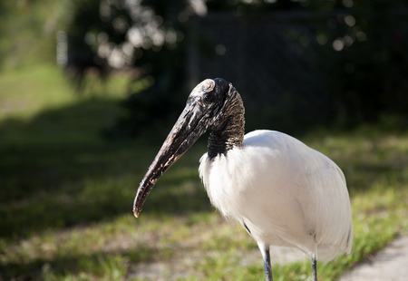 Close portrait of a Wood stork on a background of green grass photo