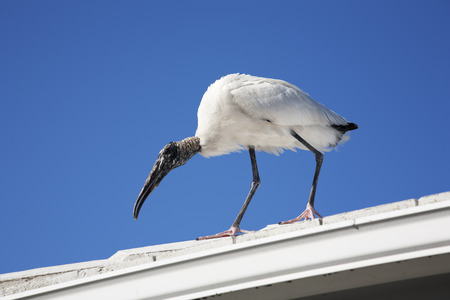 Wood stork landed on the roof sky background photo