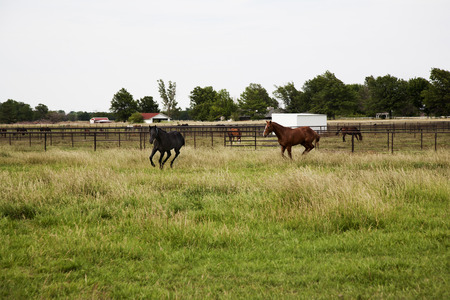 Two Thoroughbred horses running and playing in a field photo