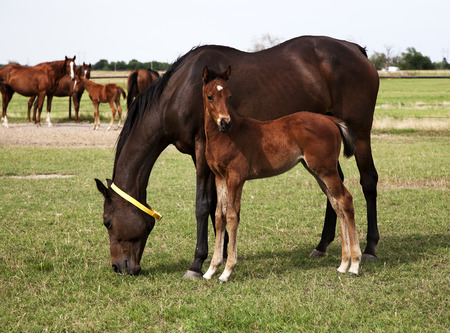 Horizontal image of  horses mare and foal eating in the meadow  Chestnut thoroughbred horses photo