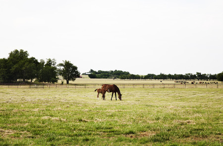 filly: Chestnut thoroughbred mare and her filly grazing in a green meadow Stock Photo