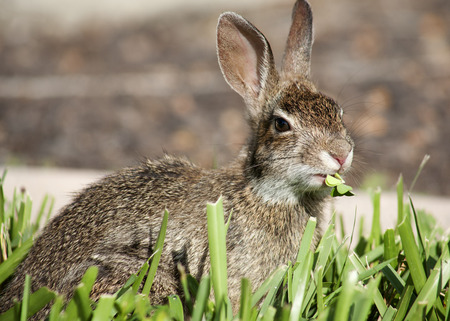 munch: Closeup of cute cottontail bunny rabbit in the garden. Composition with animals Stock Photo