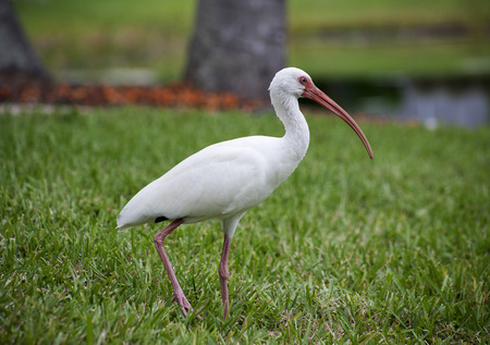 American White Ibis Eudocimus albus in search of food on a nature background Stok Fotoğraf