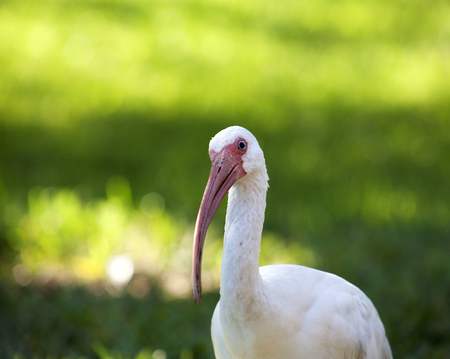American White Ibis (Eudocimus albus) in search of food on a nature background