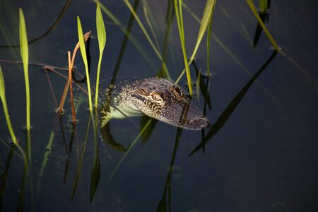 aligator: young aligator  resting on the lake. On a nature background with green grass