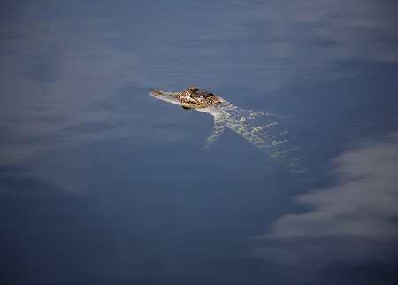aligator: young aligator  resting on the lake. On a nature background