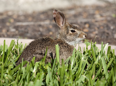 Closeup of cute cottontail bunny rabbit in the garden. Composition with animals Stok Fotoğraf