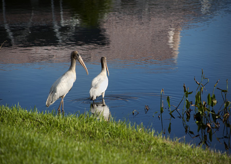 Two baby storks on a lake in Florida. Usa. Amerika