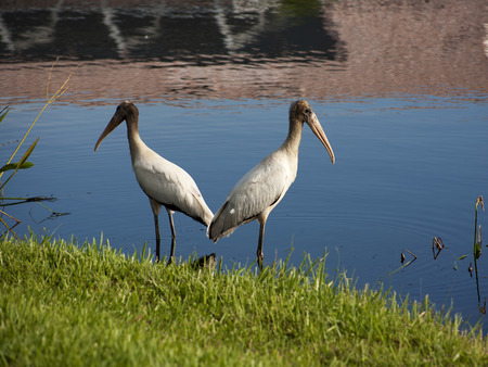ugliness: Two baby storks on a lake in Florida. Usa. Amerika