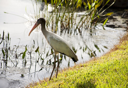 one  baby storks on a lake in Florida. Usa. Amerika