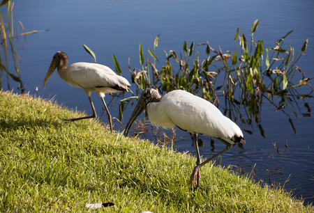 Stork and a  baby storks on a lake in Florida. Usa. Amerika