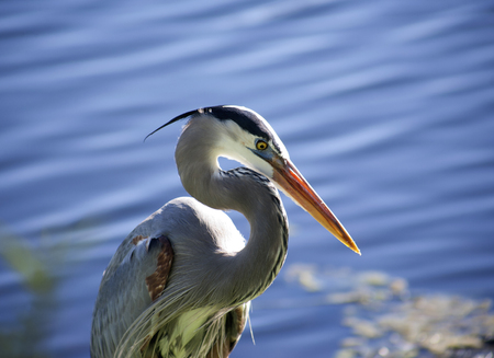 Great blue heron on a background of nature.Blue water background