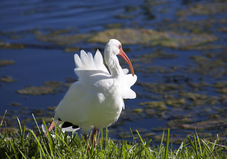 American White Ibis with a red beak (Eudocimus albus) grooming Feathers