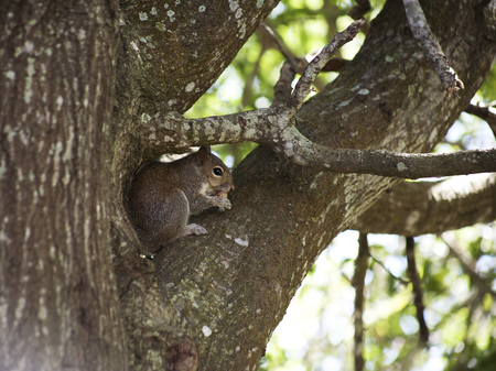 Closeup of cute grey squirrel eating peanut, sitting on a tree branch. Composition with animals