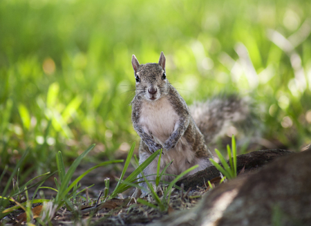 Closeup of cute grey squirrel eating peanuts. Nature background of green grass. Composition with animals