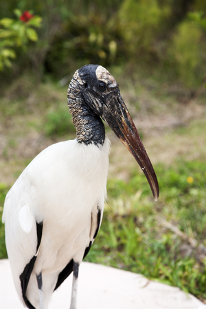 portrait of a Wood stork on a background of green grass. Nature background Stok Fotoğraf