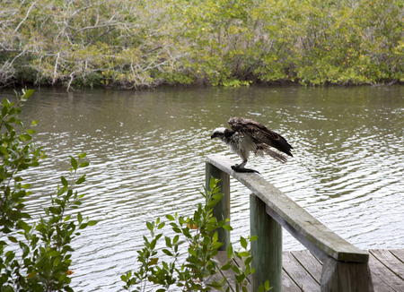 gulf of mexico: Osprey eating mullet fish in Florida. Gulf of Mexico