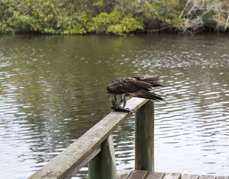 Osprey eating mullet fish in Florida. Gulf of Mexico