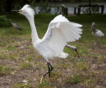 White egret  with ruffled feathers protecting territory. White Crane